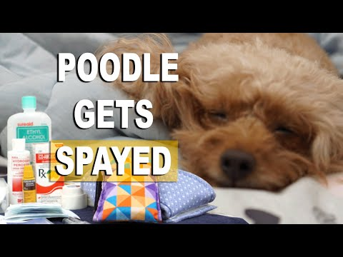 Bailey the Toy Poodle Pup gets Spayed ( Part 1)| SUMMER & BAILEY Dog Vlog