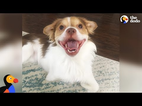 Happy Dog Goes Nuts Every Time He Sees His Wheelchair - LOKI | The Dodo