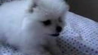 Adorable White Pomeranian Puppy Barking