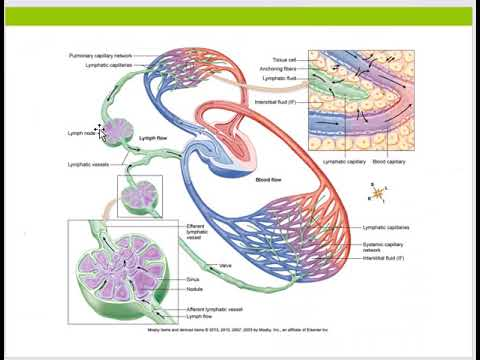Lymphatic System- A&P ll- Online Lecture #4