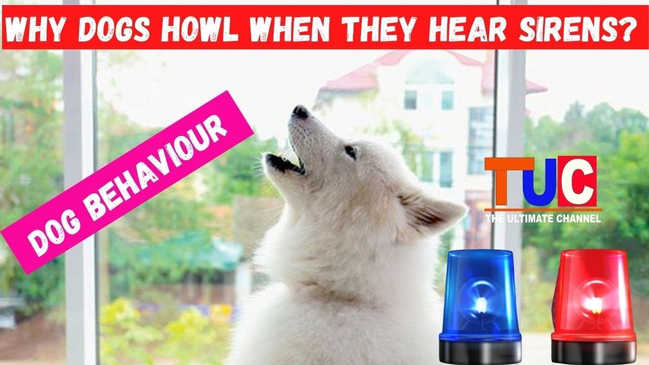 Why Dogs Howl? What Does it Mean When a Dog Howl | Dog Behaviour