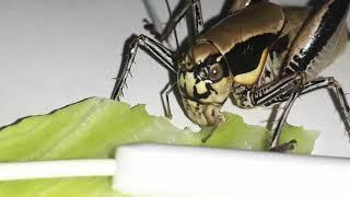 Çekirgenin marul yeme sesi 2 - cricket eating sounds