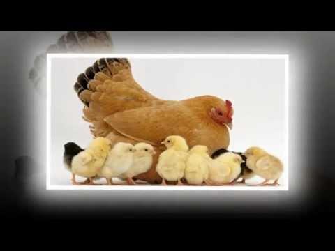 Đàn gà trong sân - nhạc thiếu nhi, Little chicken cute song - remix