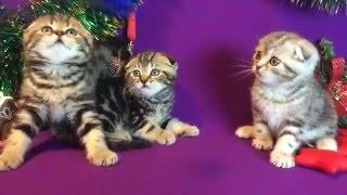 Шотландские мраморные котята, возраст 1.5 месяца