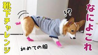 ワンコに初めて靴下履かせたら、変な歩き方になる!?【コーギー】