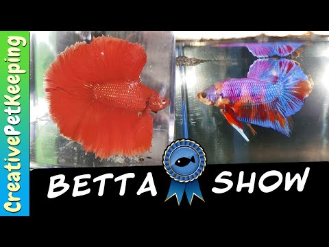 BETTA FISH COMPETITION & NEW SHOW BETTA 🐟❤
