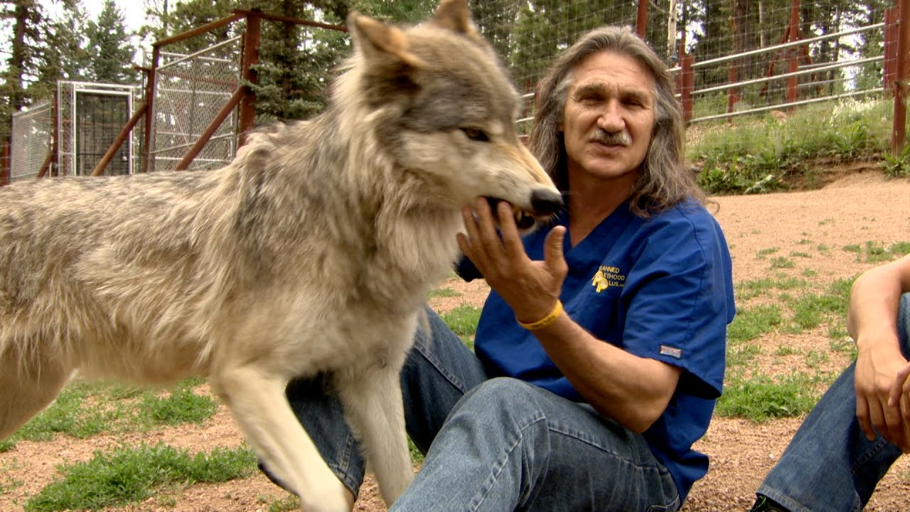 Dr.Jeff Young with a wolf on Dr. Jeff. Rocky Mountain Vet