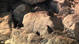 Repeat youtube video Thế giới động vật  - Big Sur-Vùng Hoang Dã California