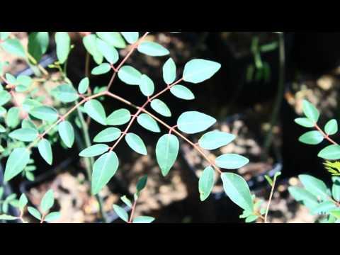 Growing Five Moringa Species (Moringa Tree Education)