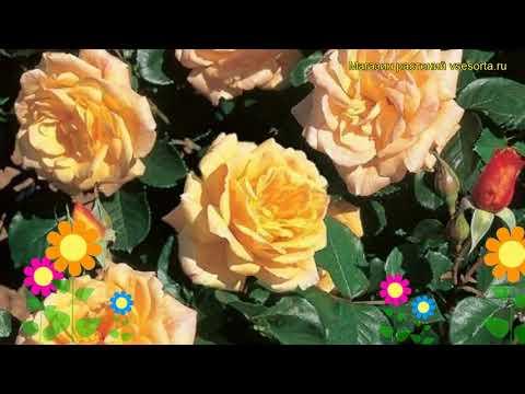 Роза плетистая Мишка. Краткий обзор, описание характеристик, где купить саженцы Michka