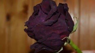 Роза будет жить долго!(, 2016-01-14T17:32:37.000Z)