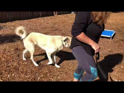 Tarzan   Anatolian Shepherd   Dog Training Week 1