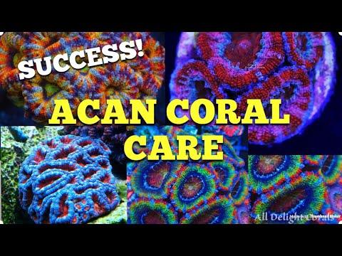 Acan Coral Care (100% Success) 🙌🏻