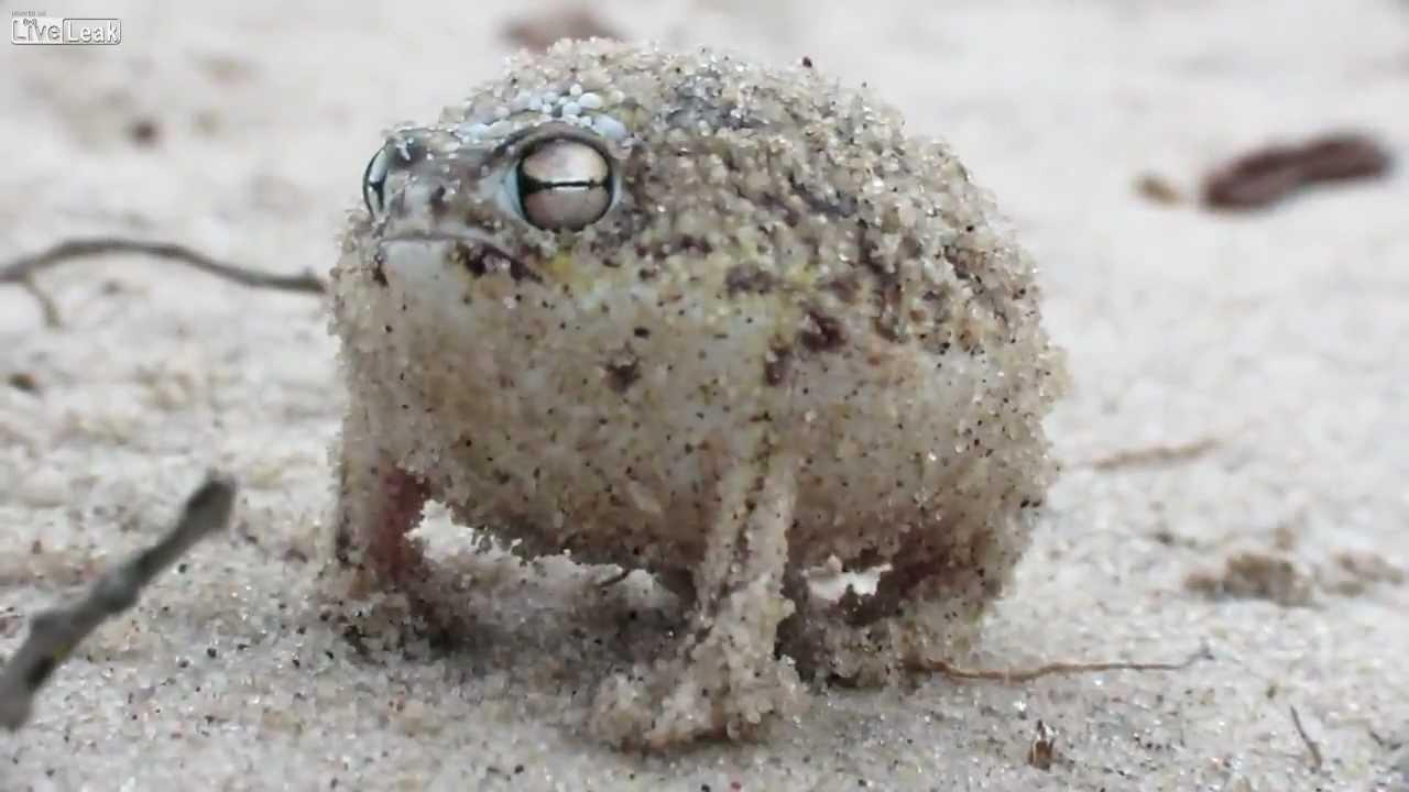 Cute Meme Wallpapers Weird Little Rainfrog Wierd Rain Frog Youtube
