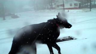 Nc Snow With Sammy 18 Month Old German Shepherd Dog