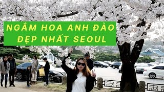 Du lịch hàn quốc - lễ hội hoa anh đào đẹp nhất seoul-cherry blossom in seoul-
