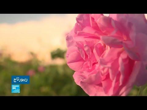الفائض في إنتاج الورود يزيد مخاوف المزارع البلغاري من احتمال تراجع سعر زيت الورد  - نشر قبل 3 ساعة