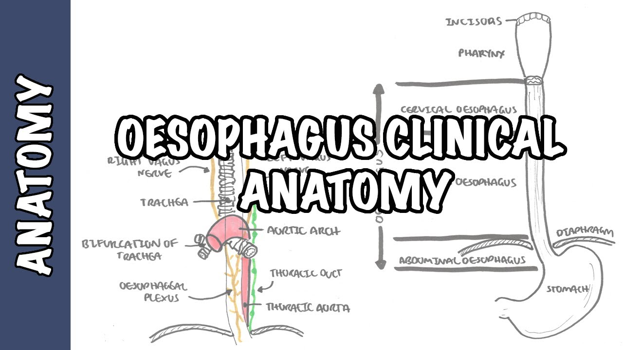 the oesophagus (esophagus) - clinical anatomy