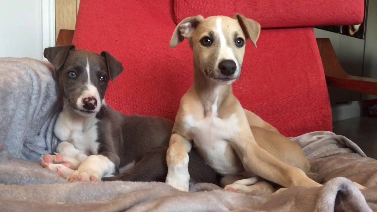 Buy Whippet Puppies For Sale In New Hampshire, USA