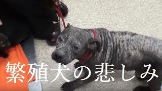 子犬にしか心を開けなかった繁殖犬の母、優しい人々に保護されて新しい人生を踏み出す