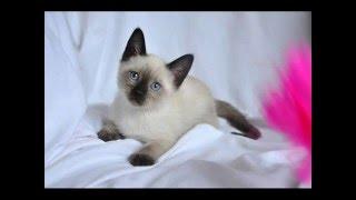 Тайские котята из питомника ГАМЛЕТ