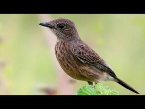 Suara Panggilan Burung Decu Betina