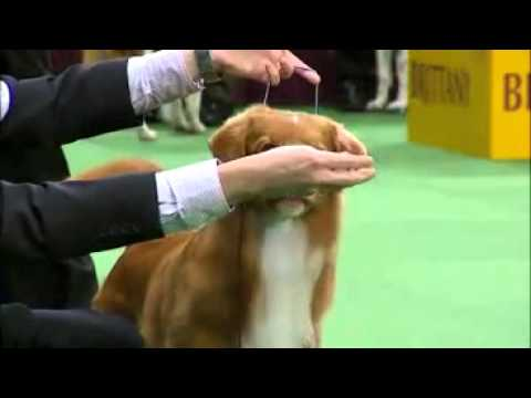 Westminster K.C. USA Dog Show 2012 Best of Sporting Group (Deutsche Gruppe 8)