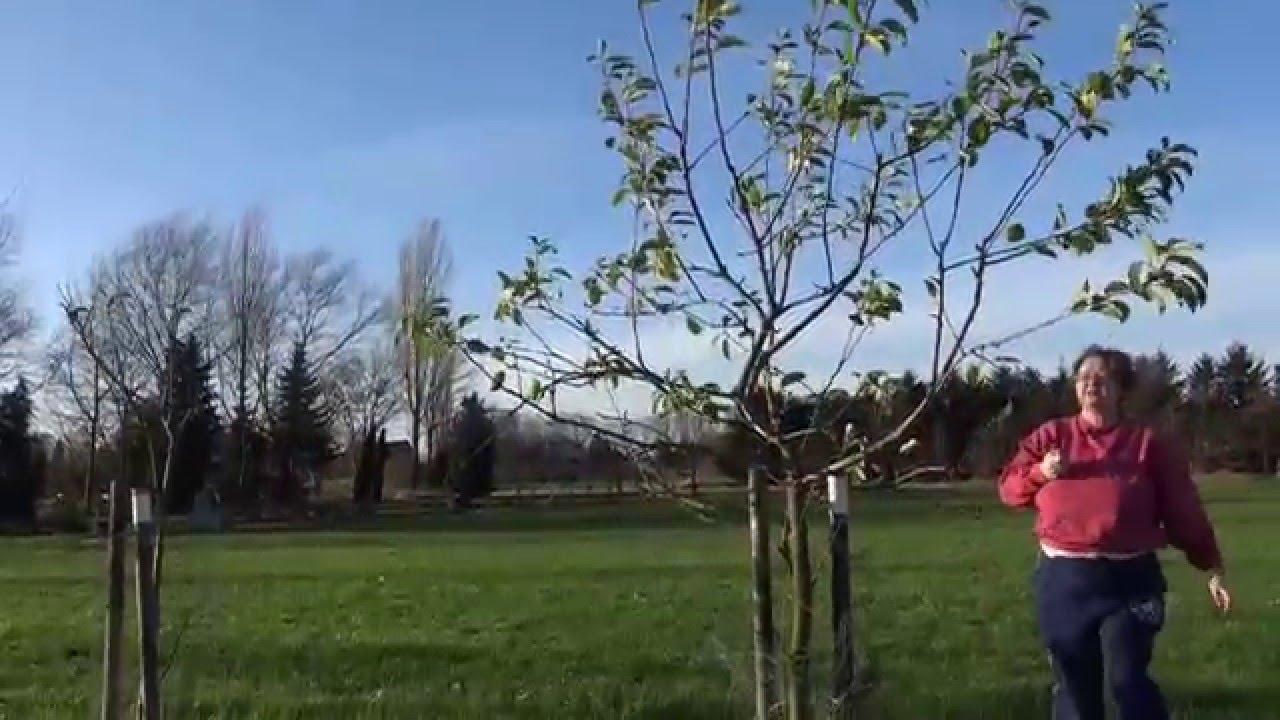 apfelbaum beschneiden apfelbaum schneiden wann und wie sie einen apfelbaum schneiden anleitung. Black Bedroom Furniture Sets. Home Design Ideas