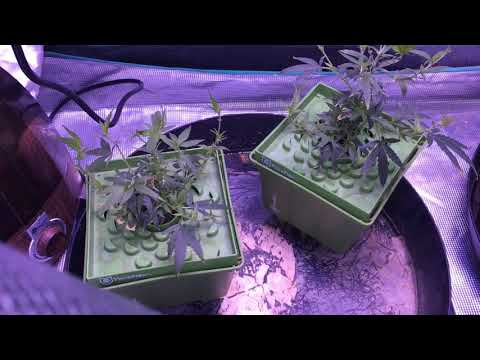 Silver State Genetics G13 NPK Industries Cali Legal Medical Marijuana Garden