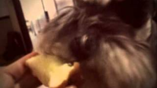 Mini Schnauzer Eating Apple