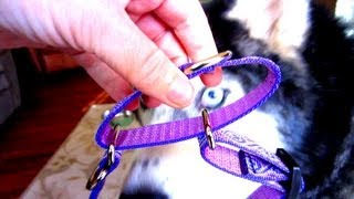 A Combo Collar? Siberian Husky Lupine Collars
