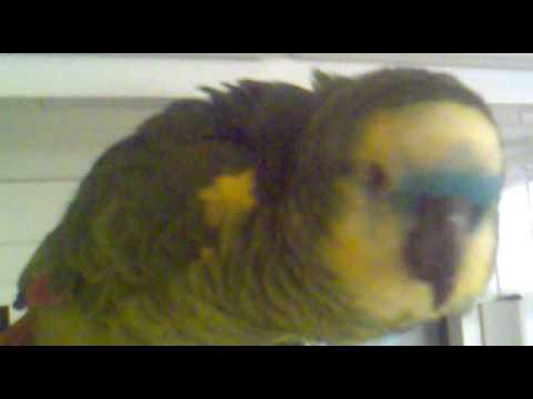 видео: Говорящий попугай  Амазон  Пако