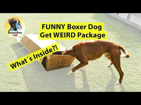 FUNNY Boxer Dog Get WEIRD Package With Surprise 😂 What´s Inside? 😂