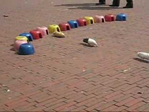 Guinea pigs racing for money in Bogota, Colombia