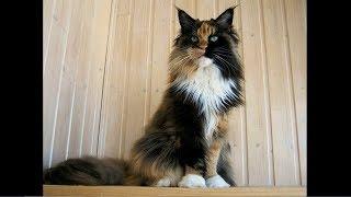 Ева - 4,5 года # Кошка Мейн кун