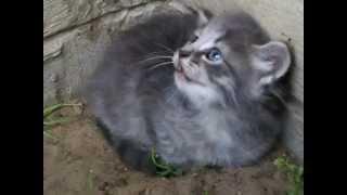 hissing kitten
