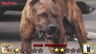 anjing Doberman VS anjing Pitbull