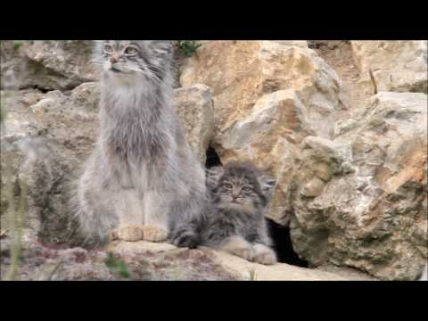 Pallas cat and kitten