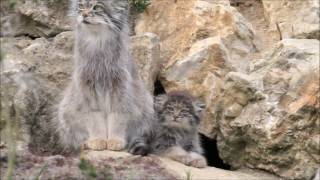 Pallas cat and kitten Pallas cat mum emerges from her den and is followed by her kitten