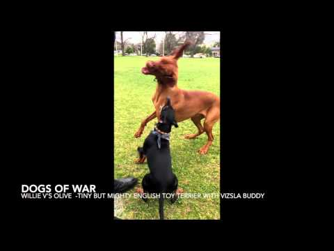 Dogs of War - English Toy Terrier V's Vizsla Epic cute battle