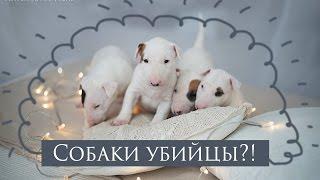 Собаки - убийцы?! | Щенки бультерьеры