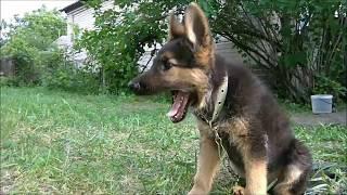 Развитие щенка Немецкой овчарки по месяцам)))