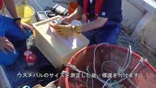 WS03【水産総合研究所】ウスメバルの標識放流