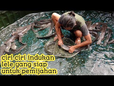 cara memijahkan ikan lele   cara budidaya ikan lele