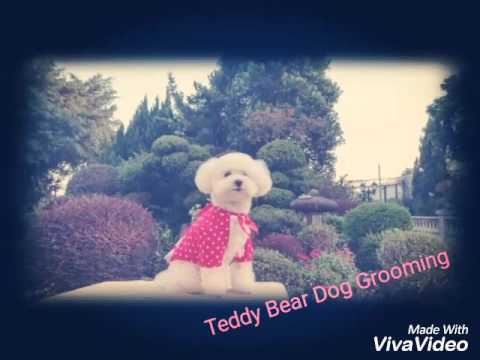 Asian Fusion Dog Grooming by Yvonne Chan Teddy Bear Dog Grooming