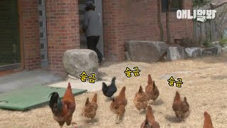 Lady's Charm Brings All The Chickens To The Yard