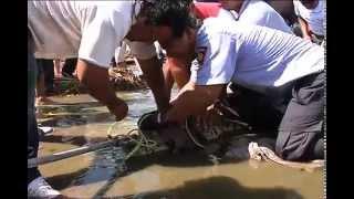 Capturan en las playas de Coatzacoalcos cocodrilo de más de dos metro y medio de largo.