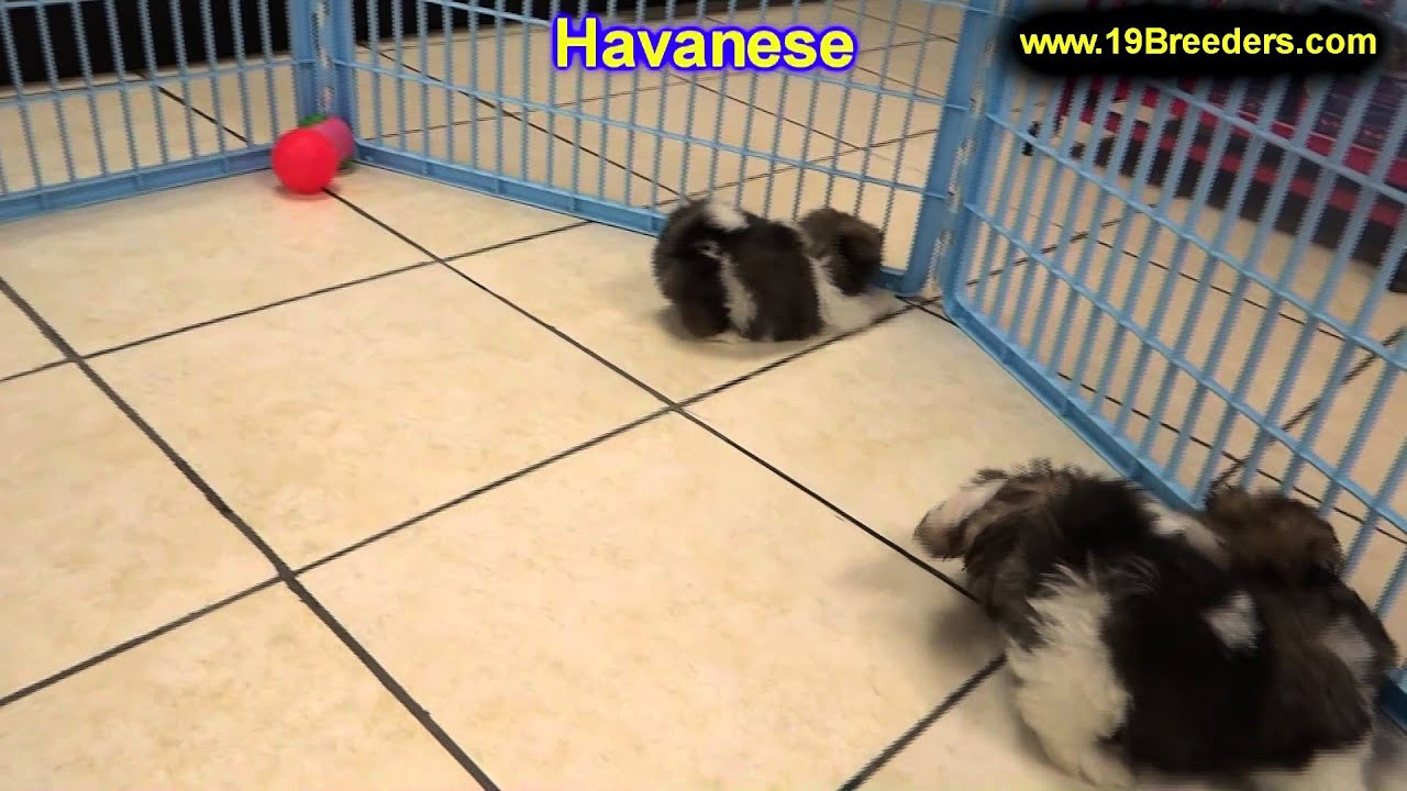 Havanese, Puppies, Dogs, For Sale, In Colorado Springs ...