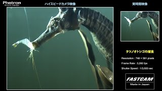 「タツノオトシゴの捕食」のスローモーション映像