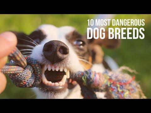 Top 10 Most Dangerous Dogs | Husky | German Shepherd | Chow Chow